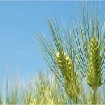 大麦で動脈硬化を予防!効能やレシピは? ※たけしの家庭の医学